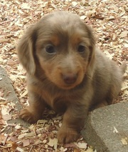 hearlth looking Dachshund Puppies For Sale