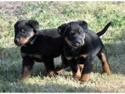 health Akc  looking Beauceron for Sale