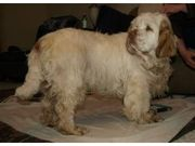 health Akc  looking Clumber Spaniel for Sale