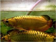 Black Diamond Stingray Fishes / Red and Golden Arowana Fish For  sale