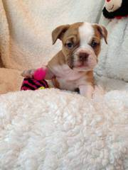 English Bull Dog Puppies Ready For Re -homing.
