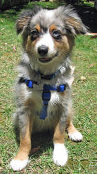 Australian Shepard Puppies Available Now