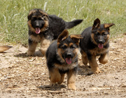 German Shepard Puppies Ready Now