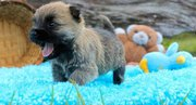 tinning Cairn Terrier Puppies For Sale