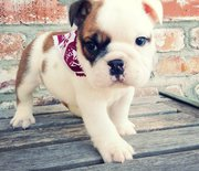 cute English Bulldog Puppies For Sale
