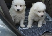 male and female Samoyed Puppies For Sale well train