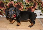 ANKC reg Dachshund puppies for sale