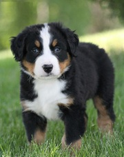 Bernese Mountain Dog Pups.(702) 815-7339