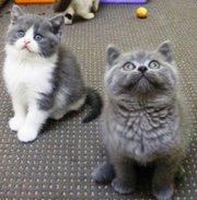 wonderful specked markings British Shorthair kittens.