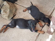 EUROPEAN DOBERMAN PUPS
