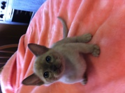 BURMESE KITTENS FOR SALE