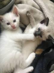 Quality Scottish Fold Kittens